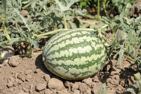 Watermelon, Citrullus lanatus, fruit growing