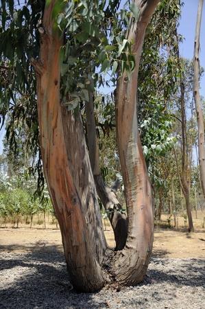 singular: Eucalyptus, shaped and curved trunk singular rural field site.