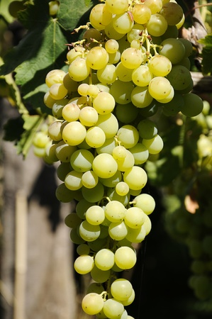 Grape bunch of grapes hanging on the vine of the house Stock Photo - 12178860
