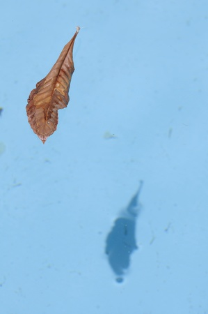 Dry leaf floating in clear blue water