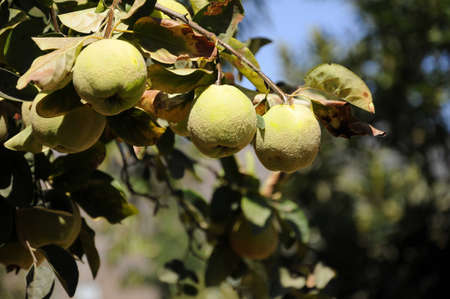 quinces: Quinces on your tree