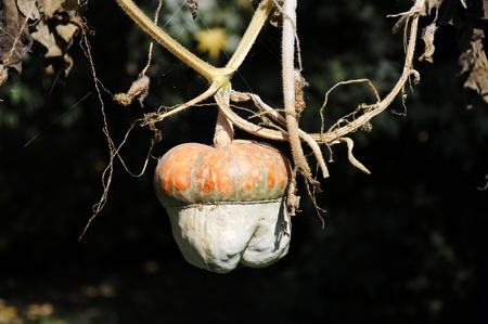 species of creeper: pumpkins, squash vine hanging Stock Photo