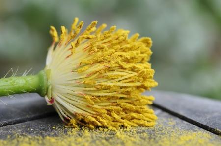 pistil: Macro yellow pistil Stock Photo
