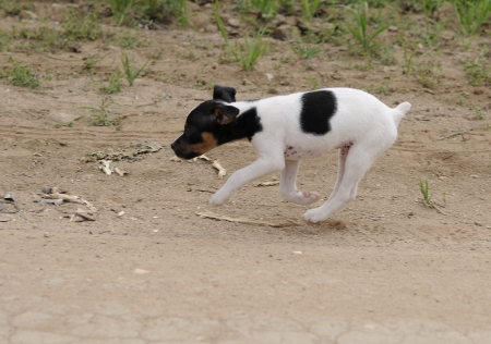 small dog, fox terrier