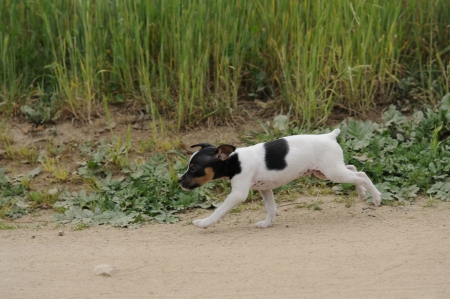 small dog, fox terrier  photo