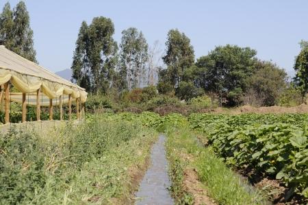 Irrigation pumpkin planting
