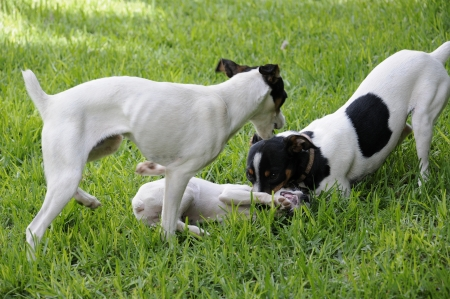 Fox terrier playing