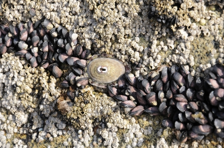 Patella vulgata   is a marine mollusc, bivalve that lives in the intertidal zone of the coast