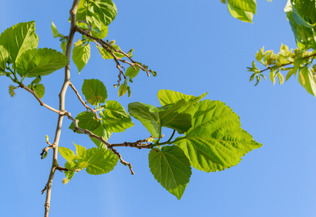 Mulberry leaves ready for spring silk worms Stockfoto