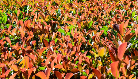 Photinia hedge for background or texture