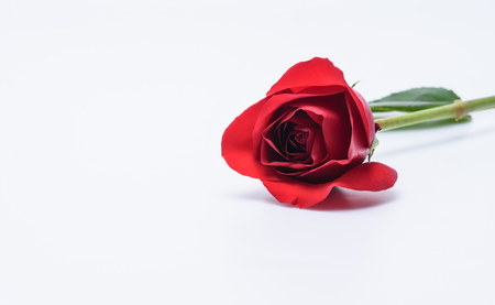 Single red rose with white space