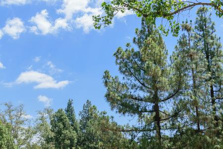 青い空を背景に夏の松の木