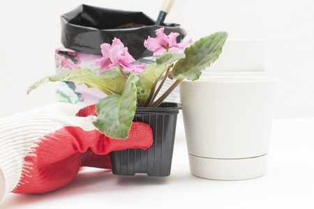 Saintpaulia African violets. Transplanting plants , watering , white background Stock Photo