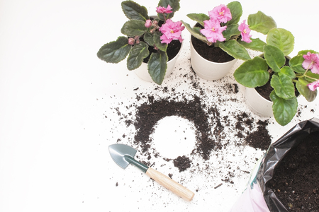 Saintpaulia (African violets). Transplanting plants , watering , white background Stock Photo