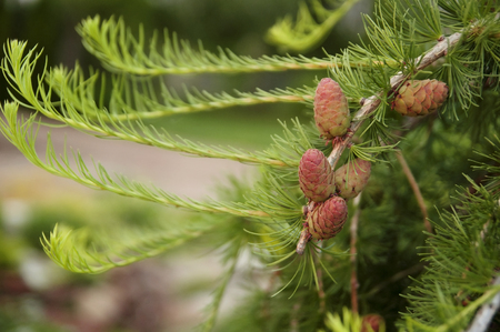 forestation: Larch branch with young cones , spring Stock Photo