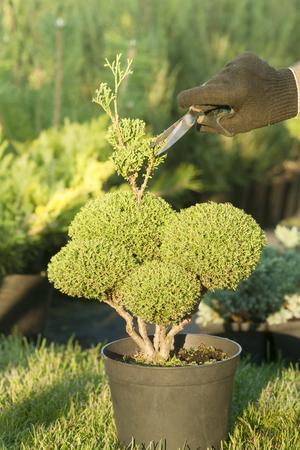 Pruning Plants . Professional Gardener Pruning conifers Stock Photo