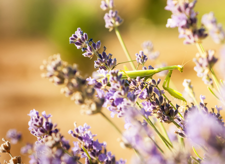 A green mantis on the flowers of lavender Stock Photo