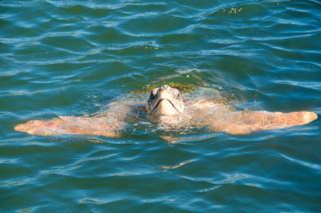 Turtle Caretta caretta swim in water, excursion in Turkey