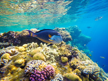 red coral colony: Underwater world of the Red Sea in Egypt. Corals and fish