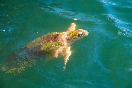Sea Turtle, coming up to the top for food Stock Photo
