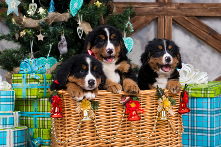 Dog breed Bernese Mountain Dog puppy, Christmas and New Year. Stock Photo