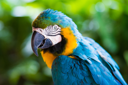 aviary: Parrot macaw, closeup on a green background