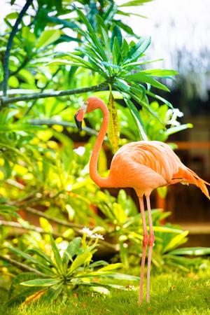 landscape: A pink Caribbean flamingo in the garden. Stock Photo