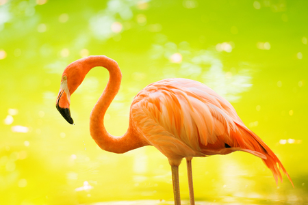 wildanimal: The pink Caribbean flamingo goes on water. Pink flamingo goes on a swamp Stock Photo