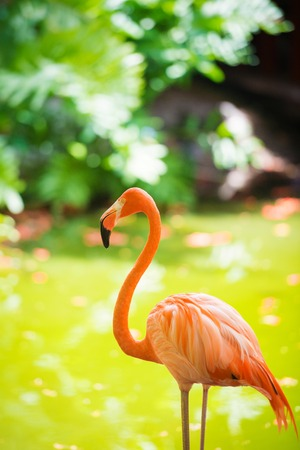 The pink Caribbean flamingo goes on water. Pink flamingo goes on a swamp Reklamní fotografie