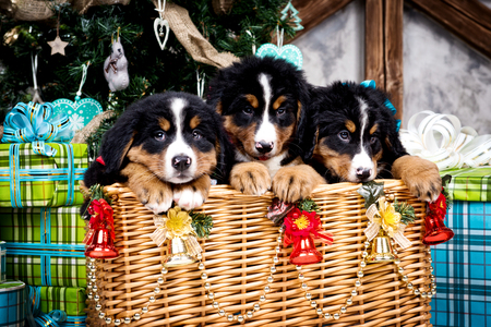 Dog breed Bernese Mountain puppy, Christmas and New Year Stock Photo