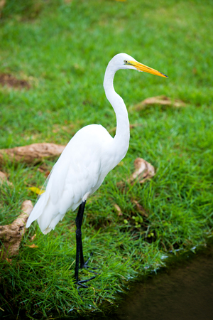 Great Egret on the background of a green grass Foto de archivo