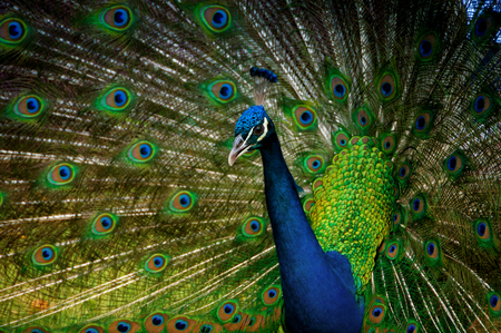 Portrait of a peacock with a loose tail.