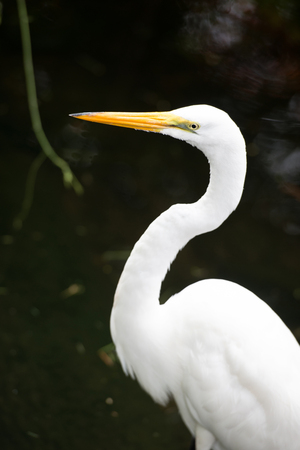 Great Egret on the background of a green grass Stock Photo
