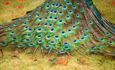 Background, beautiful peacock tail. Nature and backgrounds. 写真素材