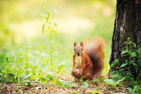 A red squirrel stands near a tree with a nut. Foto de archivo