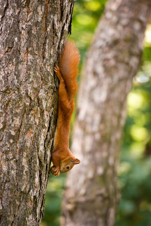 Red-haired squirrel hanging on a tree with a nut.