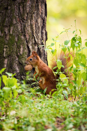 A red squirrel stands near a tree with a nut. Stock Photo