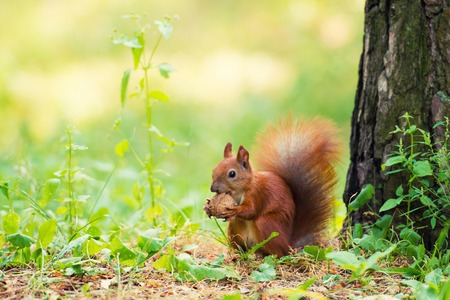 A red squirrel stands near a tree with a nut. 스톡 콘텐츠