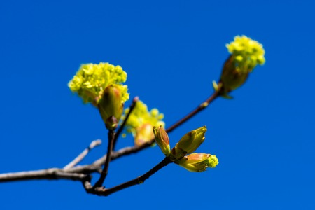 spring bloom on tree branches fresh green buds. blue sky. shallow depth of field Stock Photo