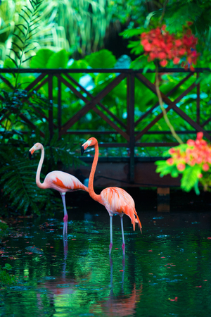 The pink Caribbean flamingo goes on water. Pink flamingo goes on a swamp. Standard-Bild