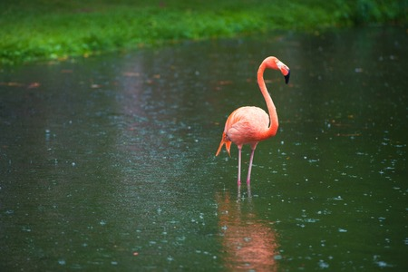 The pink Caribbean flamingo goes on water. Pink flamingo goes on a swamp. Reklamní fotografie