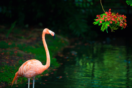 The pink Caribbean flamingo goes on water. Pink flamingo goes on a swamp. Stock Photo