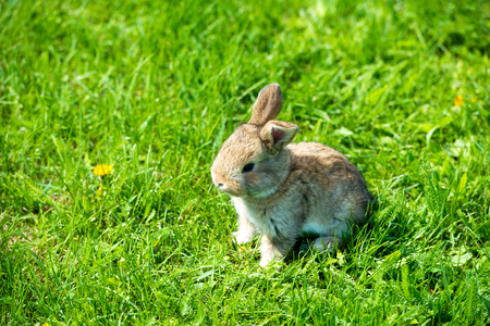 Cute rabbit with flower dandelion sitting in grass. Animal nature habitat, life in meadow. European rabbit or common rabbit. Archivio Fotografico