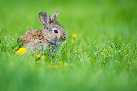 Cute little hare with a dandelion flower sitting in the grass. Picturesque habitat, life in the meadow