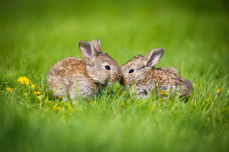 Lindas dos pequeñas liebres sentadas en la hierba. Hábitat pintoresco, vida en la pradera