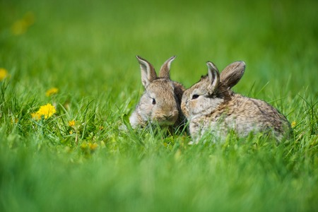 Cute two little hare sitting in the grass. Picturesque habitat, life in the meadow