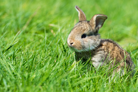 Cute rabbit with flower dandelion sitting in grass. Animal nature habitat, life in meadow. European rabbit or common rabbit, Oryctolagus cuniculus, hidden grass. Rabit in pink spring flowers.