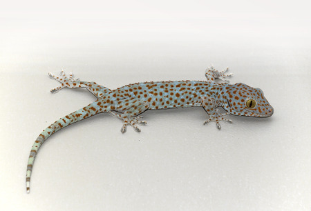 Cambodian tokay gecko on white background Stock Photo