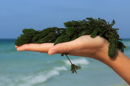a handful of fresh seaweed against the sea background