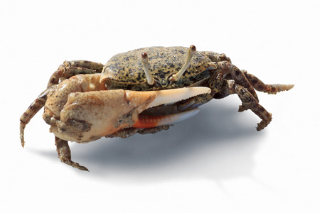 Fiddler crab of Red sea isolated on white